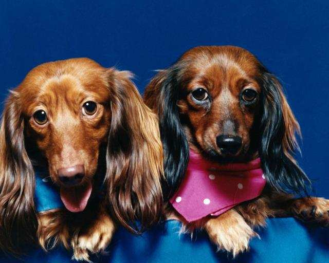 Why Small Dogs Live Longer than Large Dogs
