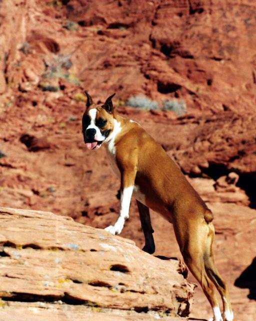 boxer_dog