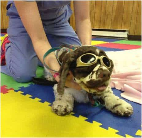 Dexter undergoing laser therapy