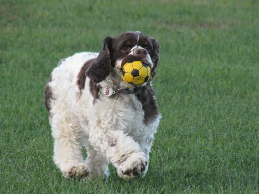 The Road from Dog ACL Injury to Recovery: Step by Step
