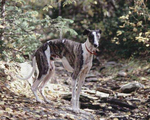 Italian_greyhound