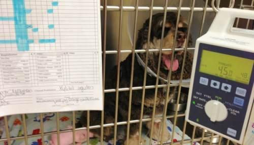 Xylitol poisoning in dog