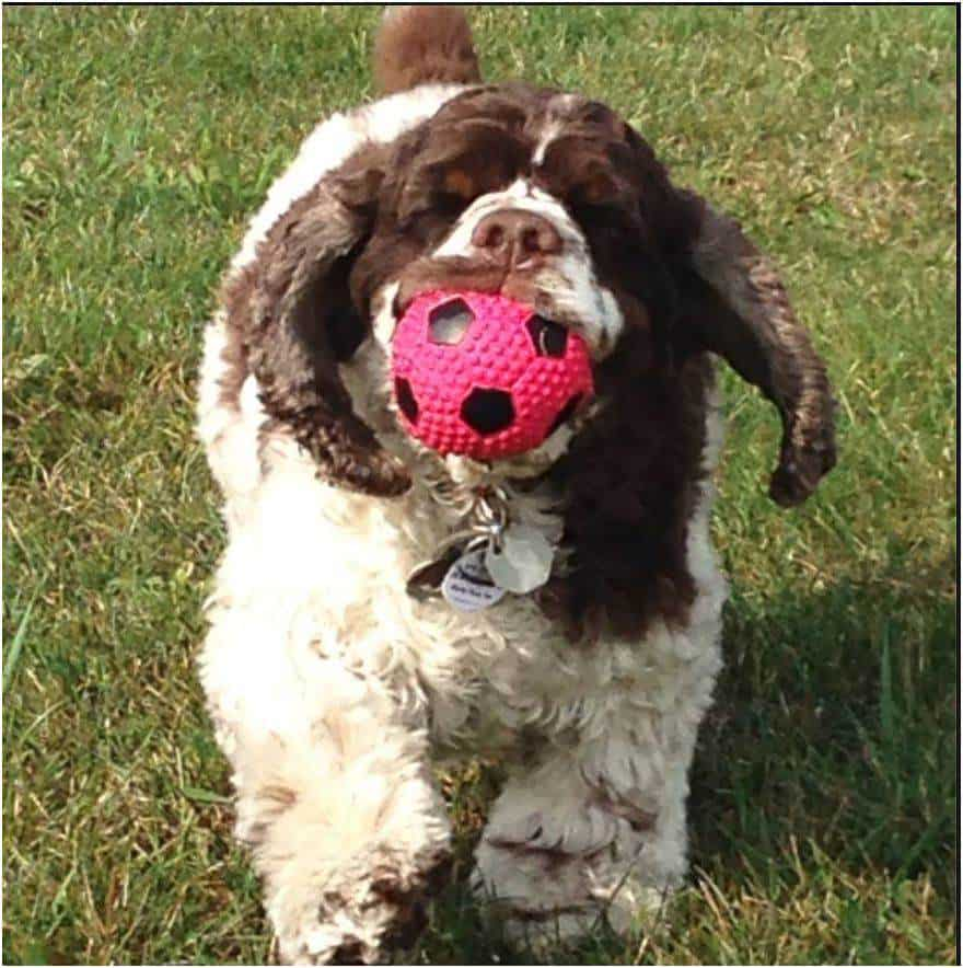 Cocker_Spaniel_Dexter