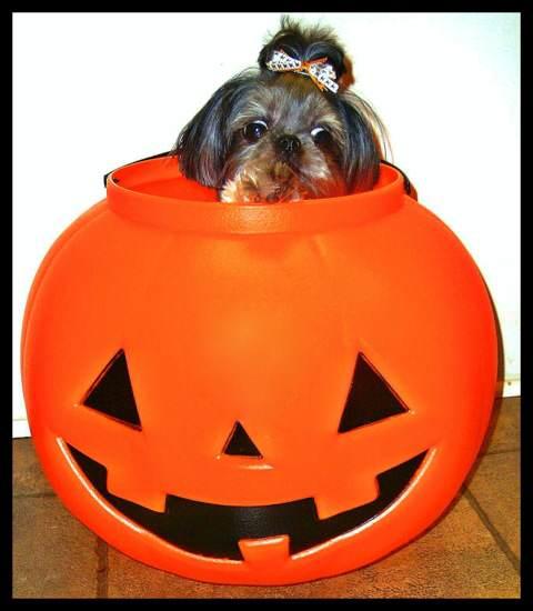 pumpkin_dog