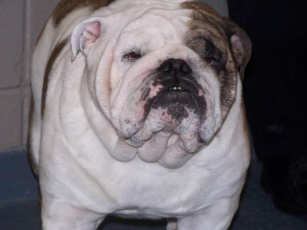 chubby_dog
