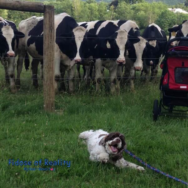 dog cows