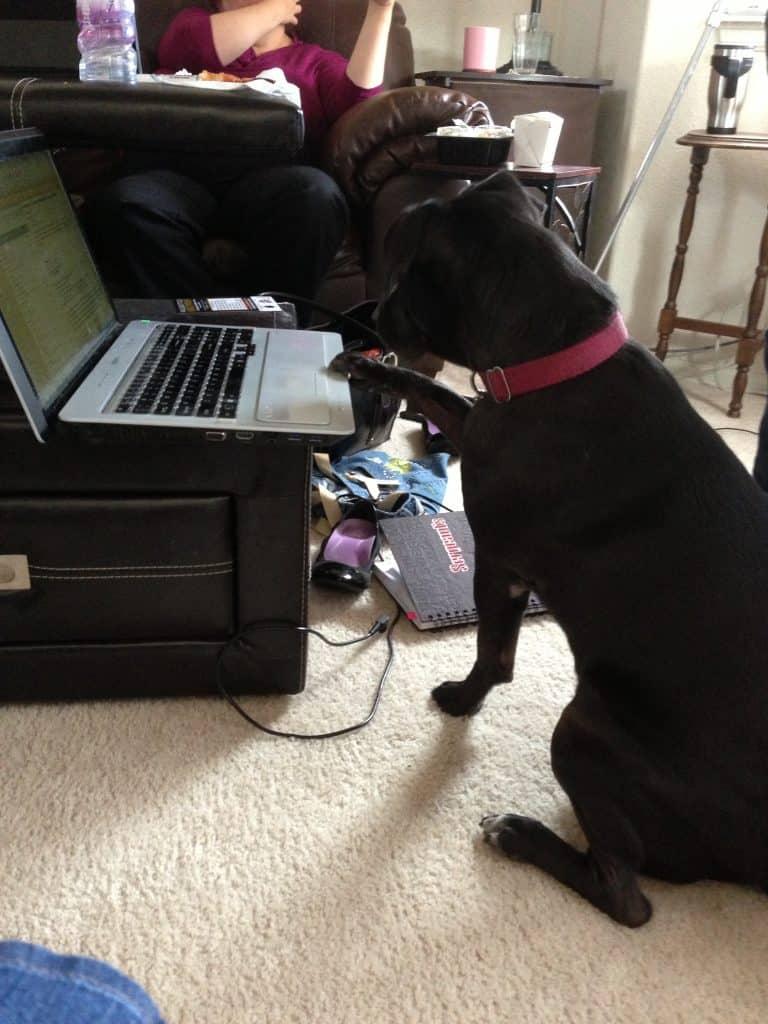 pit bull blog