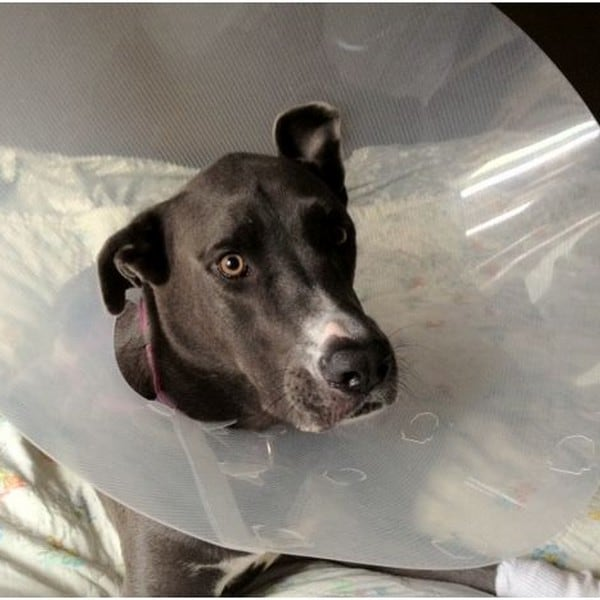 Dog in a cone recovering from surgery