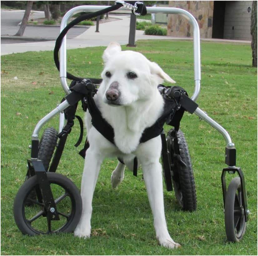 Dog Spinal Disease Often Misdiagnosed