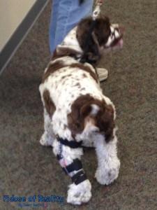 Dog ACL custom brace