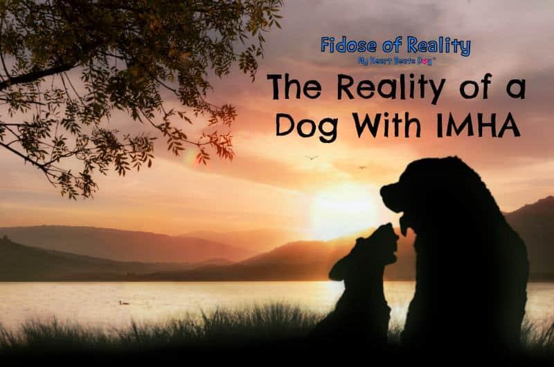 IMHA dog