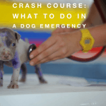 Crash Course:  What To Do In a Dog Emergency