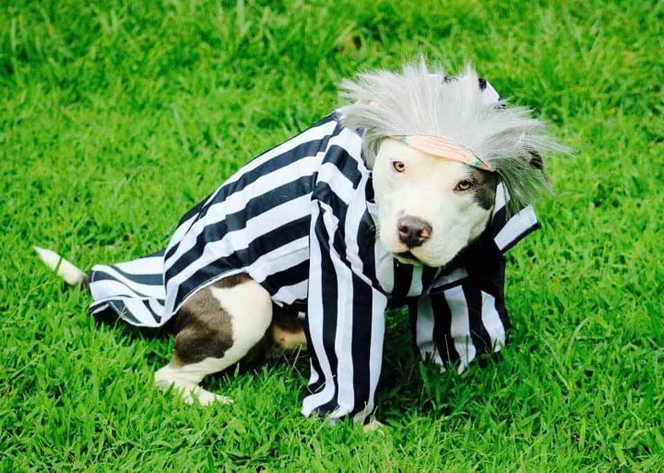 Dog dressed as Beetlejuice