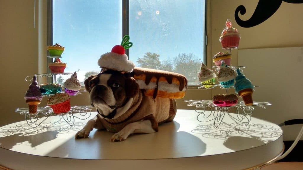 Dog dressed as Boston Cream Pie