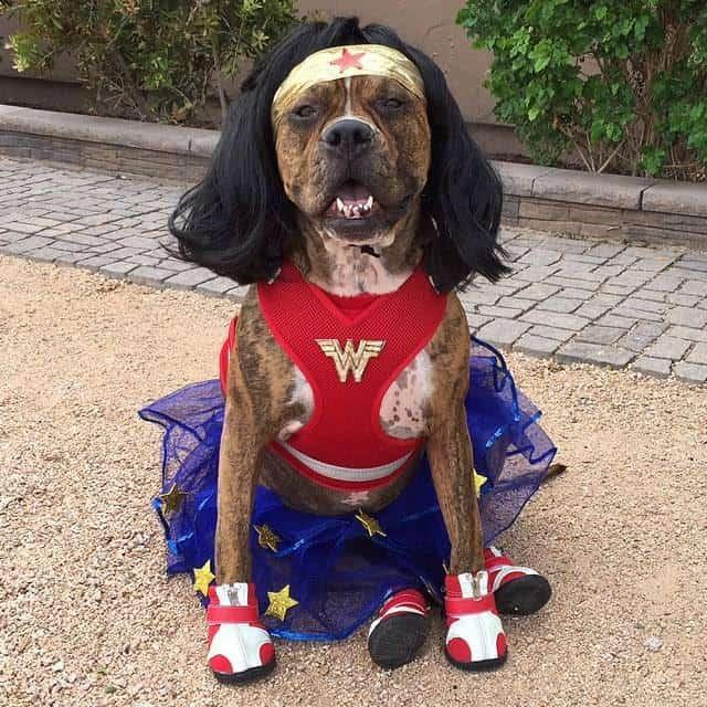 Dog as Wonder Woman