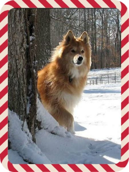 Dog in snow on a holiday card