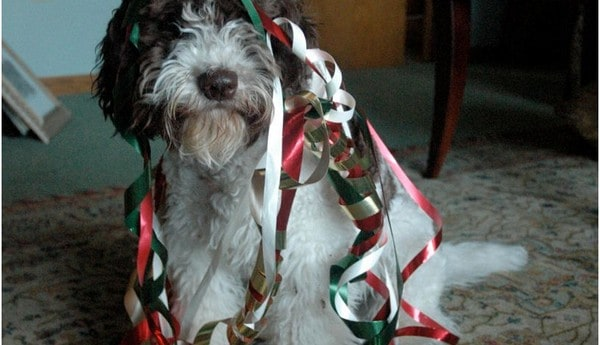 Ribbon on Christmas Dog