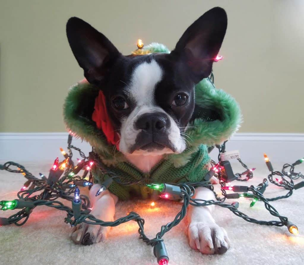 dog with christmas lights - Dog Christmas Lights