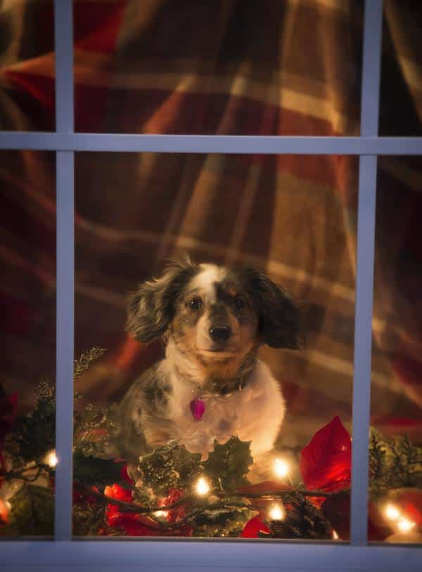 Dog waiting for Santa