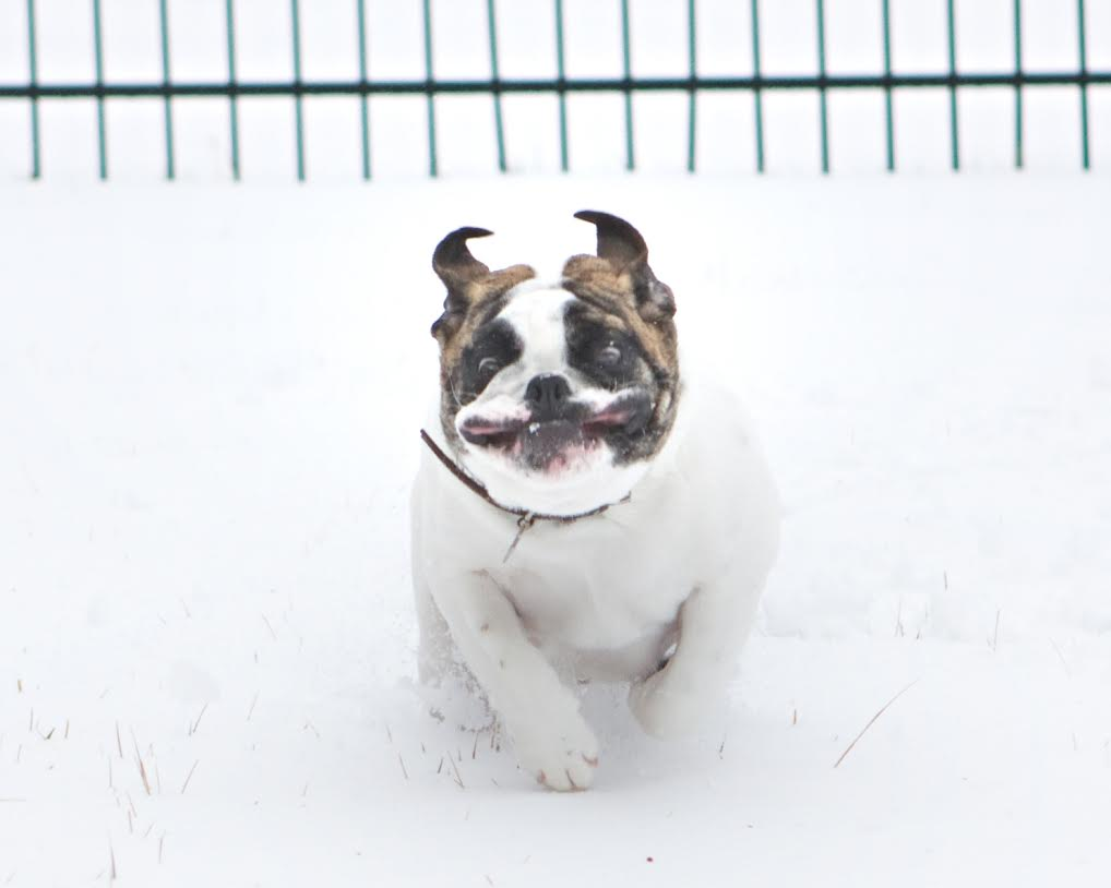 Dog in snow running