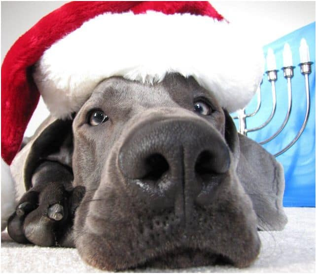 Close up of Great Dane