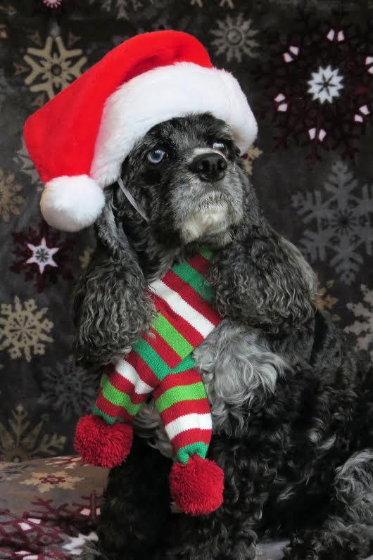 Cocker Spaniel ready for Christmas