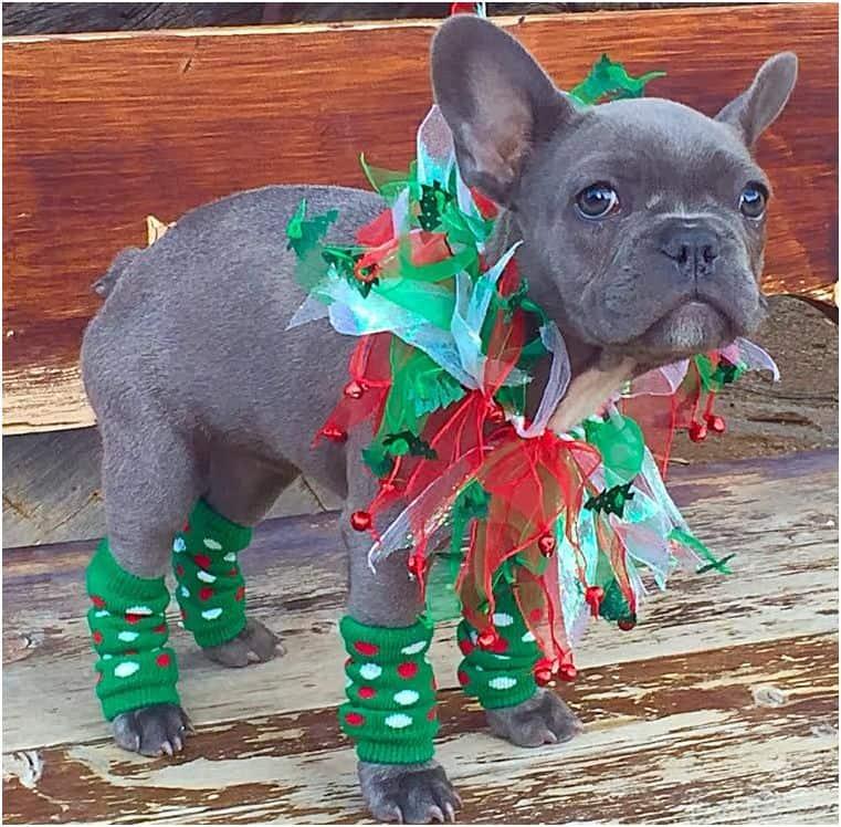 Christmas elf dog