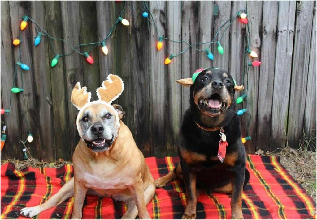 Dogs with Christmas lights