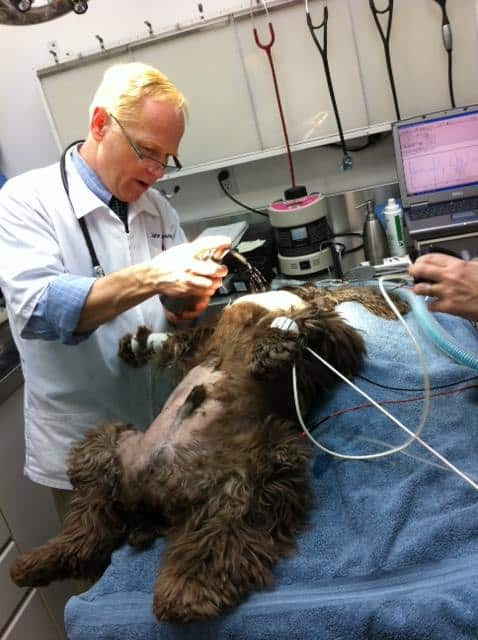 Dog preparing for surgery