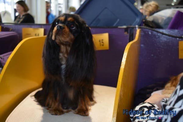 Cavalier King Charles at Westminster