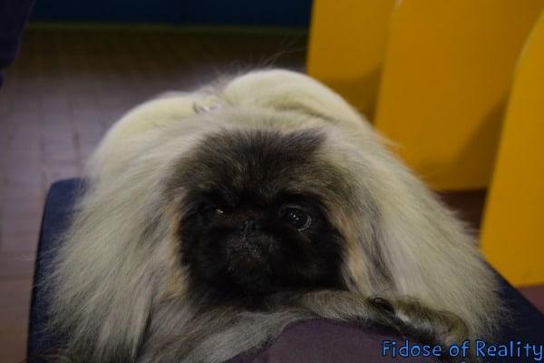 Pekingnese at dog show