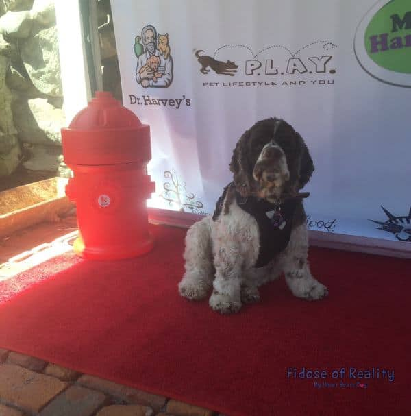 Dexter on red carpet dog friendly