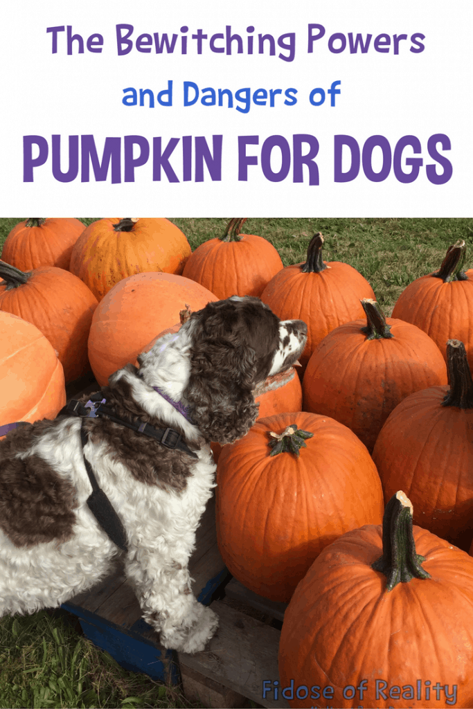 Can Dogs Eat Pumpkin Or Is Pumpkin
