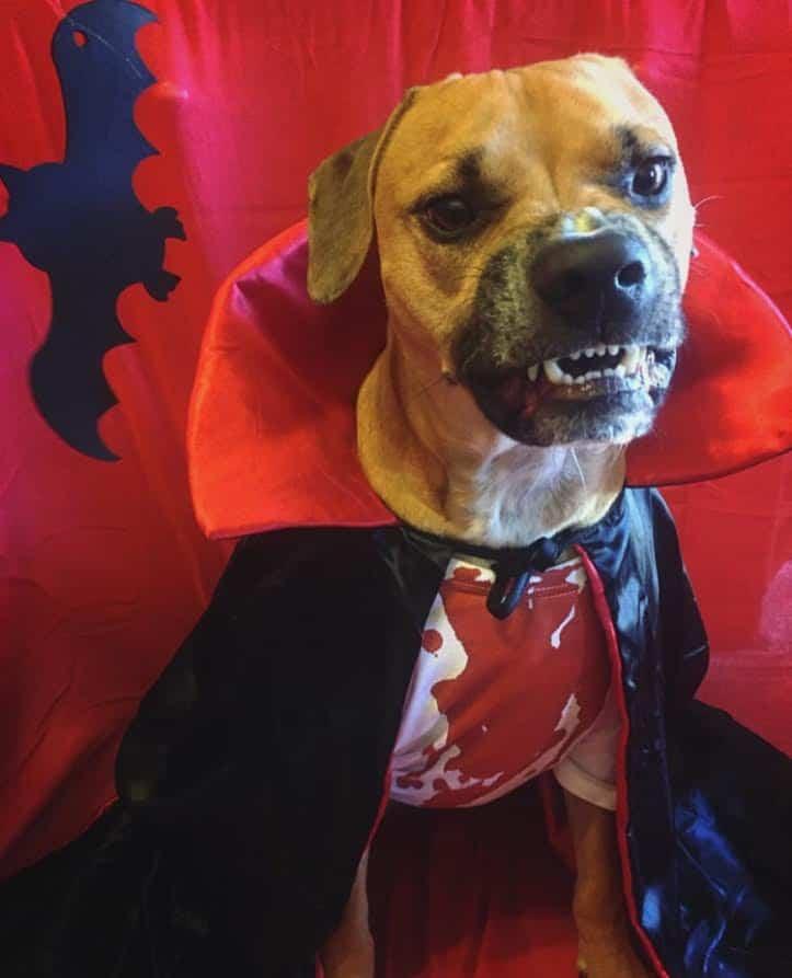 Dog dressed as Dracula