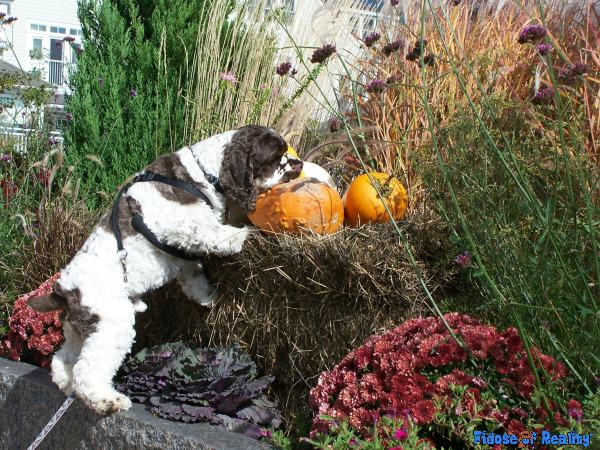 Powers and Dangers of Pumpkin for Dogs