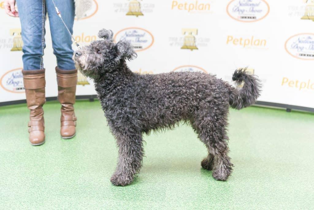 Pumi at dog show