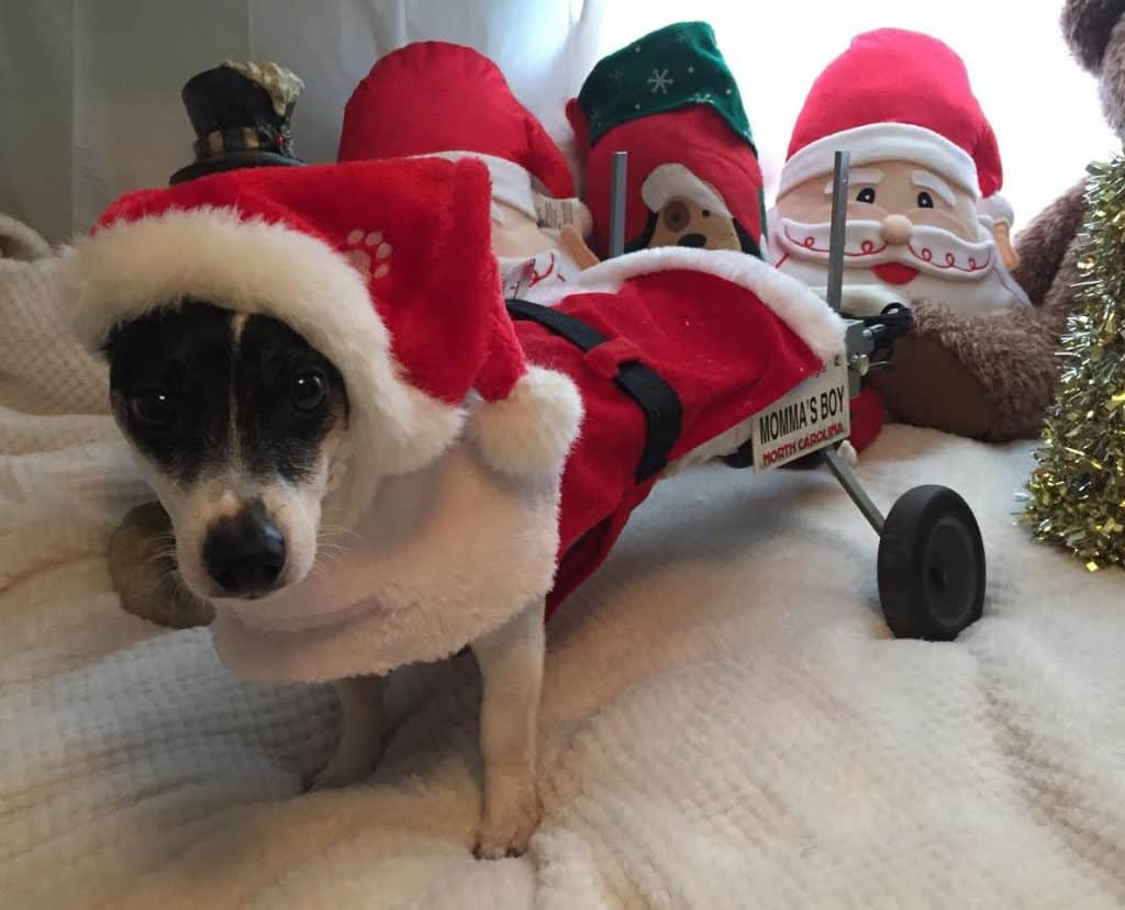 Santa dog in wheelchair