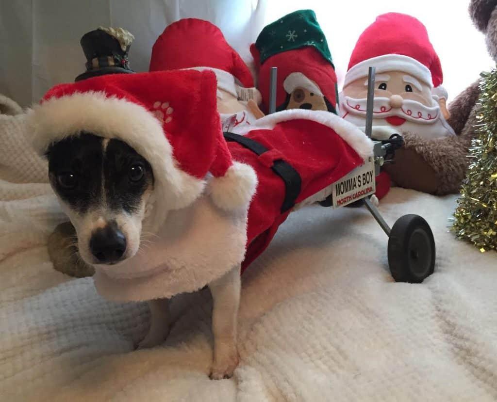 Santa dog in wheelchair