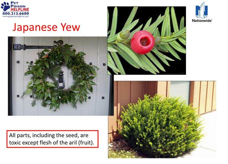 Japanese Yew dangerous to dogs