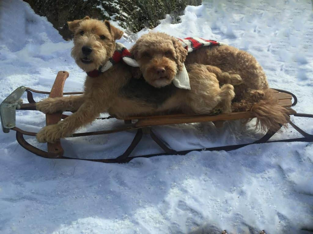 Dogs on a sled