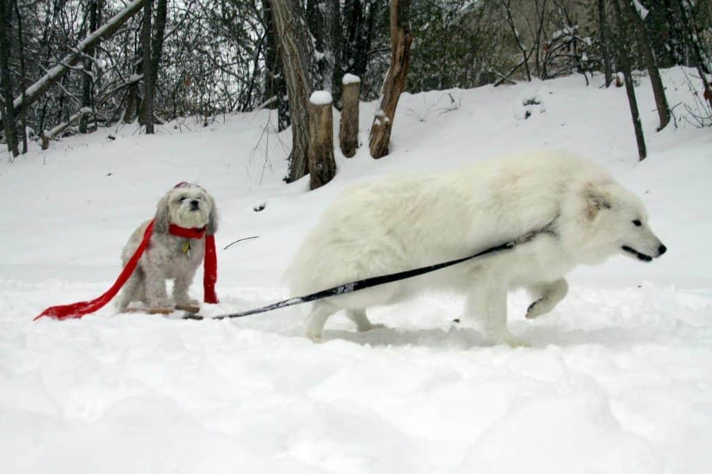 Snow dog on sled