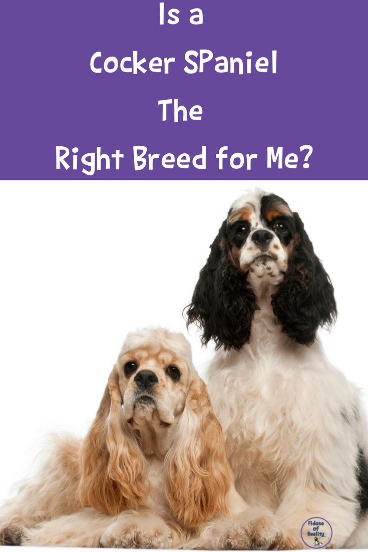 Is A Cocker Spaniel The Right Dog For Me Fidose Of Reality