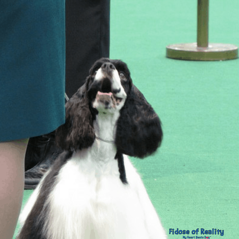 Cocker spaniel in ring