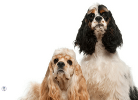 Is a Cocker Spaniel The Right Dog For Me