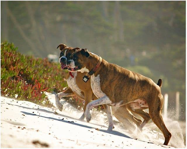 boxers play