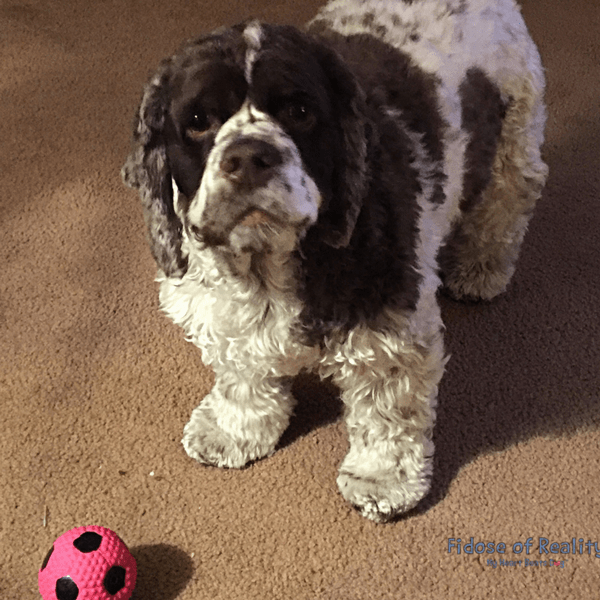 Dog playing ball indoors