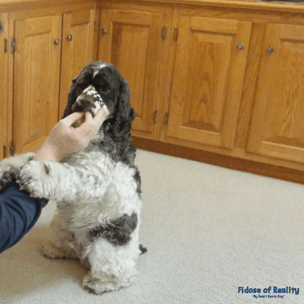Dog beg trick