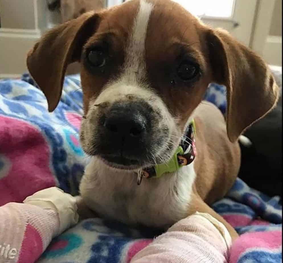 Dog needs money for heart surgery
