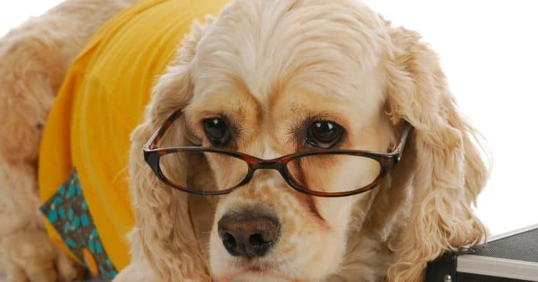 Cocker Spaniel Eye Problems and Solutions