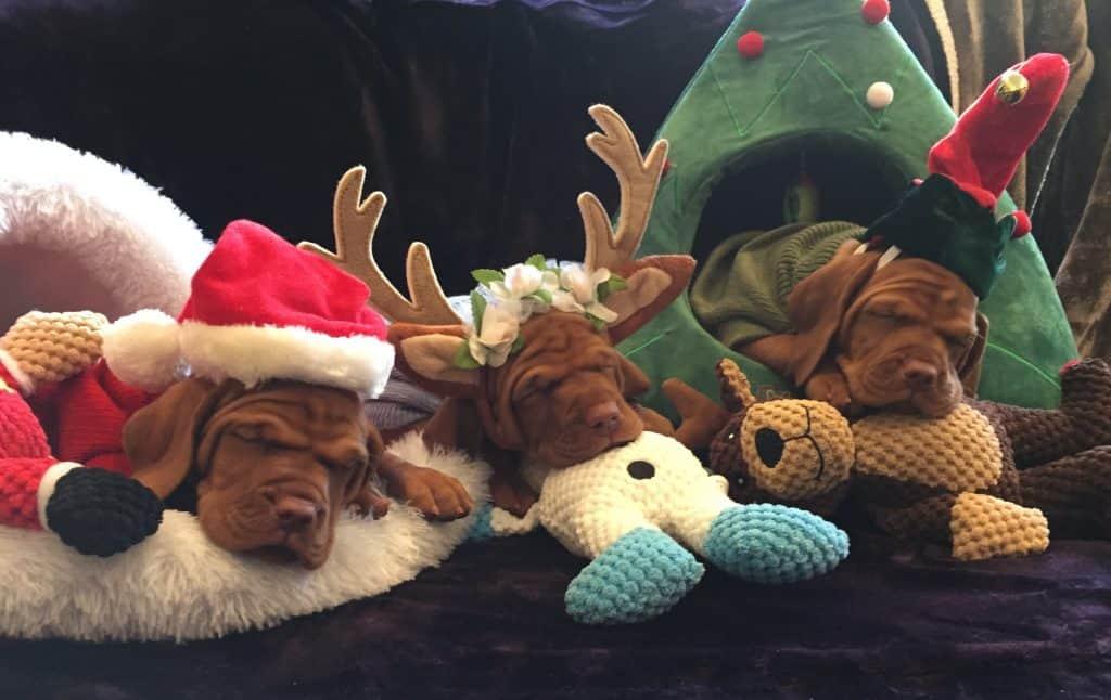 Dogs sleeping Christmas